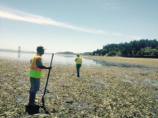 On the beaches at the Wyckoff Superfund site on Bainbridge Island, workers look for creosote seeps or patches on the lower beach during low tide. Creosote looks like motor oil with a rainbow sheen.